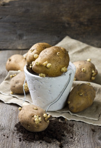 Vorkeimen der Kartoffel für Ernteertrag