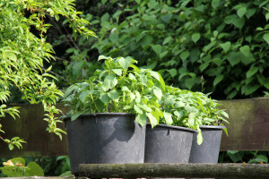 Die Kartoffelpflanze und ihr Blattwerk